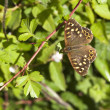 Speckled wood butterfly — Stock Photo #47155711