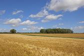 Harvest time barley crop — Stockfoto