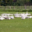Stock Photo: Free range geese