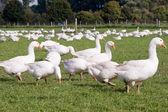 Free range geese — Stock Photo