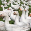 Free range geese — Stock Photo