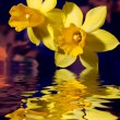 Yellow Narcissus flowers touching water — Stock Photo #12252403