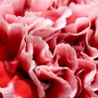 Pink peony flower petals — Stock Photo #12252409