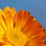 Orange Daisy Flower — Stock Photo #12252692