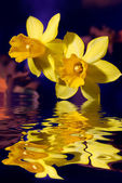 Yellow Narcissus flowers touching water — Stock Photo