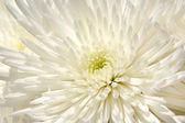 White Chrysanthemum Flower Background — Stock Photo