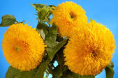 Giant Sungold Hybrid Sunflowers — Stock Photo