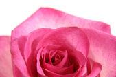 Beautiful Pink Rose — Stock Photo