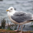 Herring gull — Stock Photo #14608233