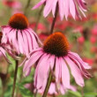 Echinacea — Stock Video