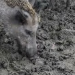 Stock Video: Wild boar