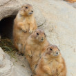 Prairie dogs — Stock Photo #29131911