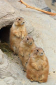Prairie dogs — Stockfoto