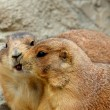 Kissing prairie dogs — Stock Photo