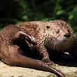 Otter — Stock Photo #36840523