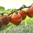 Tomato vegetable - Stockfoto
