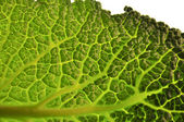 Savoy cabbage background — Stock Photo