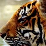 Tigre in thailandia — Stock Photo