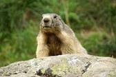 Marmota — Foto de Stock