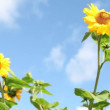 Sunflower HD video — Stock Video #12584245