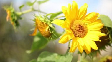Natural sunflower HD video