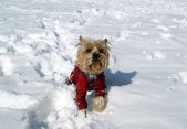Yorkshire terrier playing in the snow in the winter — Stock Photo