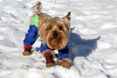 Yorkshire terrier in blue costume playing in the snow in winter — Stock Photo