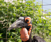 Kafrsky horned raven — Stock Photo