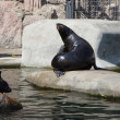 Northern Fur Seals, the smallest seals, Moscow zoo — Stock Photo