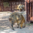 Sichuan takin (Budorcas taxicolor tibetana) — Stock Photo