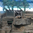 Giant Panda   from Beijing Zoo, China — Stock Photo