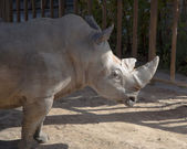 The white rhinoceros or square-lipped rhinoceros (Ceratotherium simum) is the largest and most numerous species of rhinoceros that exists — Stock Photo