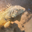 Stock Photo: Large green iguana