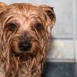 Yorkshire terrier — Stock Photo #37711399