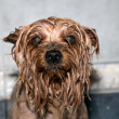 Yorkshire terrier — Stock Photo #37711405