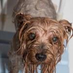 Yorkshire terrier — Stock Photo #37711409