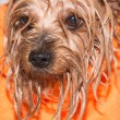Yorkshire terrier — Stock Photo #37711425