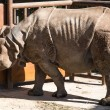 Постер, плакат: White rhinoceros or square lipped rhinoceros Ceratotherium simum is the largest and most numerous species of rhinoceros that exists
