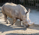 White rhinoceros or square-lipped rhinoceros (Ceratotherium simum) is the largest and most numerous species of rhinoceros that exists — Stock Photo