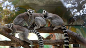 Ring-tailed lemur (Lemur Catta) behind a glass aviary zoo — Stock Photo