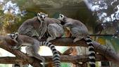 Ring-tailed lemur (Lemur Catta) behind a glass aviary zoo — Stock Photo