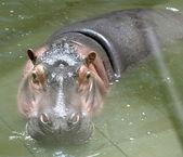 Enorme hipopótamo (primer plano) descansando en el agua — Foto de Stock