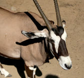 Gemsbok or gemsbuck (Oryx gazella) is a large antelope in the Oryx genus — Stock Photo
