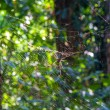 Spiderweb with Spider — Stock Photo