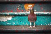 Hermosa paloma — Foto de Stock