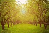 Apple trees alley. — Stock Photo