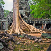 Giant tree in Siem Reap — Stock Photo