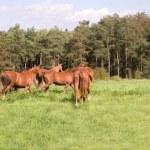 Horses go in the pasture. — Stock Photo