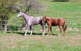 Vanno di cavalli al pascolo. — Foto Stock