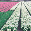 Fields of tulips and hyacinths — Stock Photo